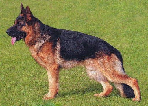 Giống chó Đức